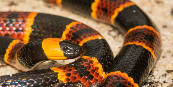 How Long Do Coral Snakes Live For?