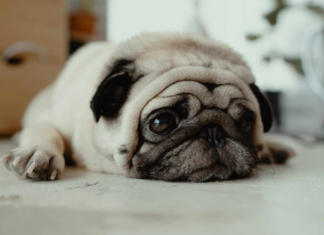 How Much Do Pugs Cost?
