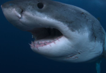 Top 7 Largest Sharks