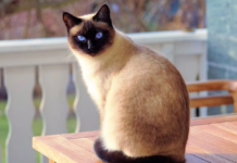 Do All Siamese Cats Have Blue Eyes?