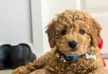 Do Goldendoodles Have Health Issues