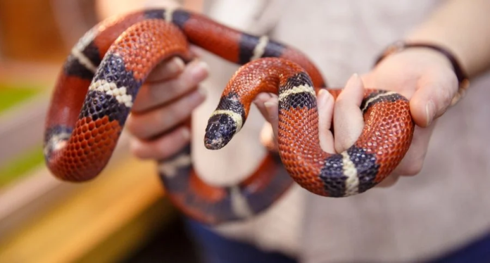 Can Snakes be Affectionate?
