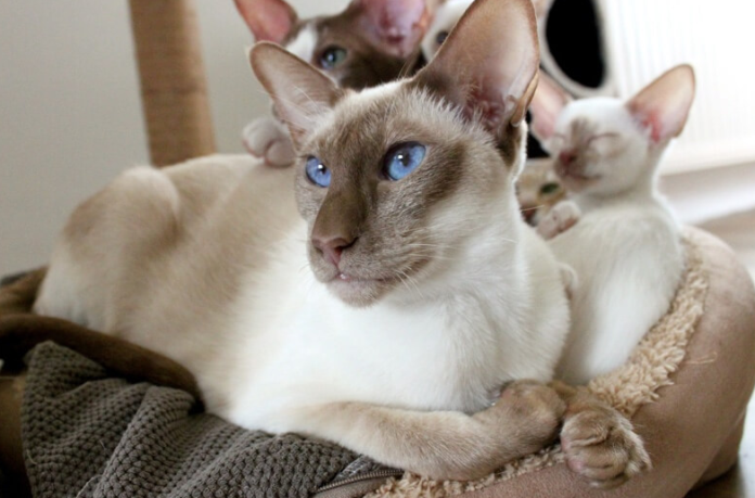 Why Do Siamese Cats Meow A Lot?